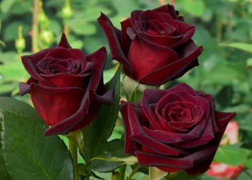 «Королева» цветов