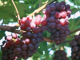 Сладкие гроздья вьющегося кустарного растения