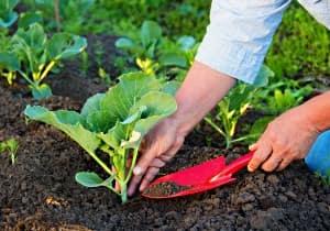 Удобрение капусты, высаженной в открытый грунт