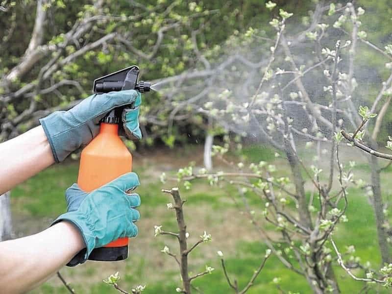 Обработка деревьев мочевиной