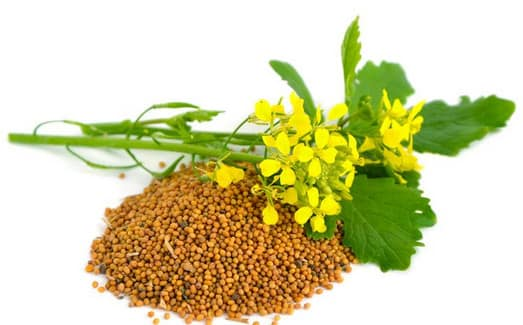 Семена растения