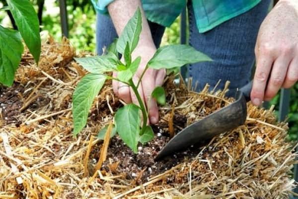 Выращивание овоща в теплице