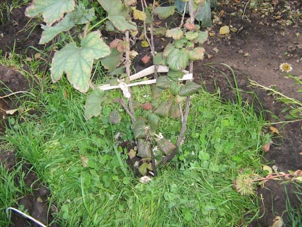 «Зеленое удобрение» для деревьев