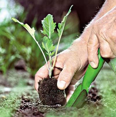 Выращивание овоща: пересадка и внесение в почву полезных веществ