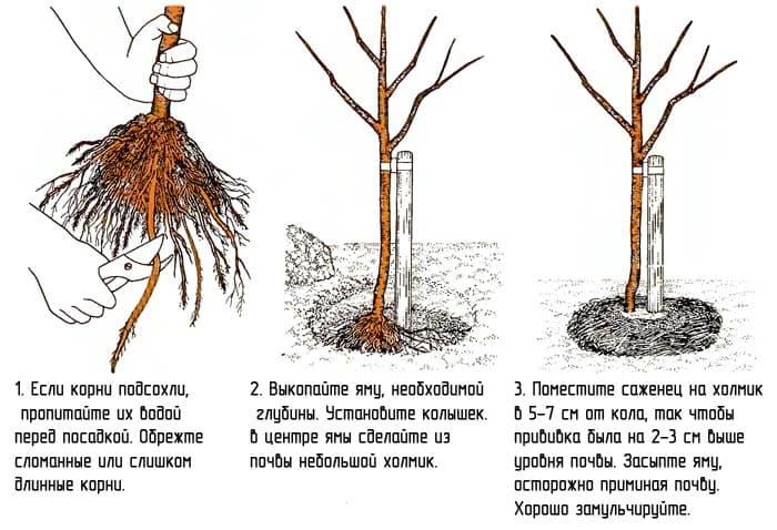 Основные принципы посадка плодового дерева