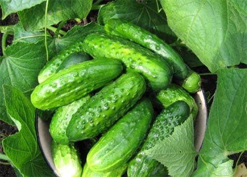 Излюбленная овощная культура
