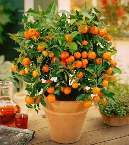 Цитрусовое растение