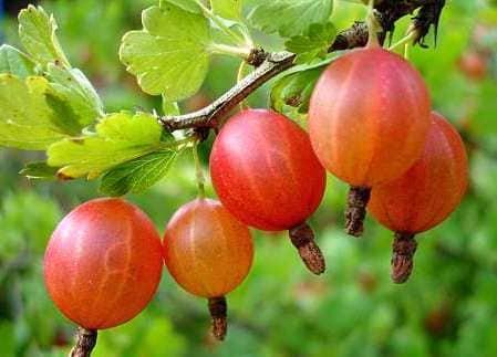 «Северный виноград»