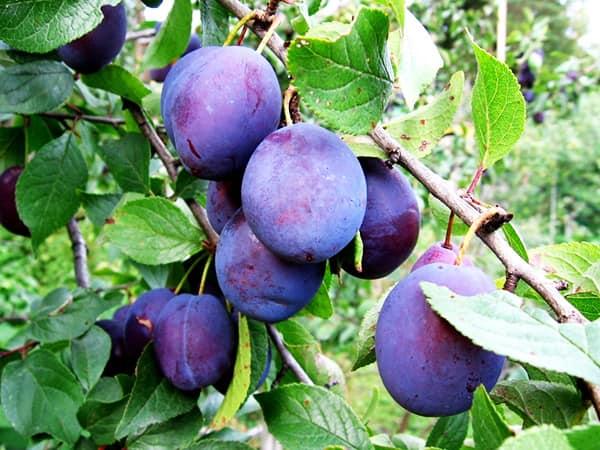 Широко известная плодовая культура