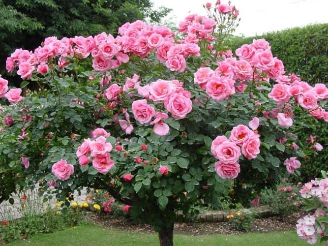 Содержание пышно цветущего растения