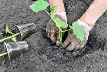 Высаживание овощной культуры в открытый грунт