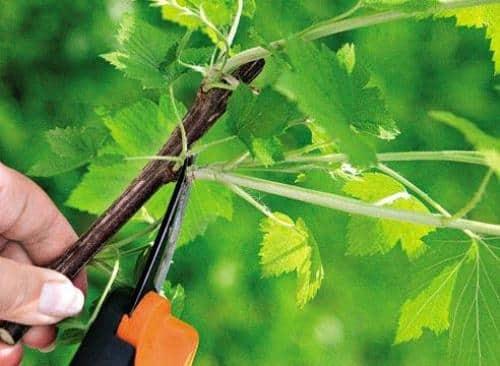Уход за садовым растением