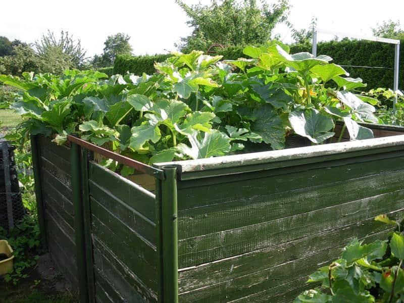 Выращивание огурцов на компостной куче 59