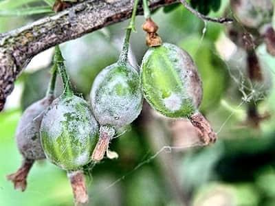 Мучнистая роса на «северном винограде»