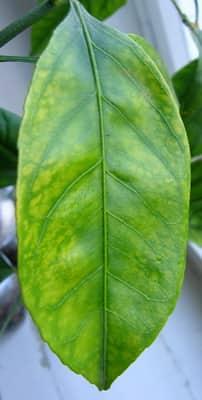 Последствия переизбытка кальция у растения