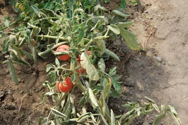 Последствия неправильного выращивания овощной культуры