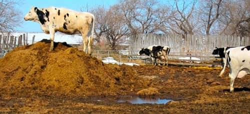 Навоз коров