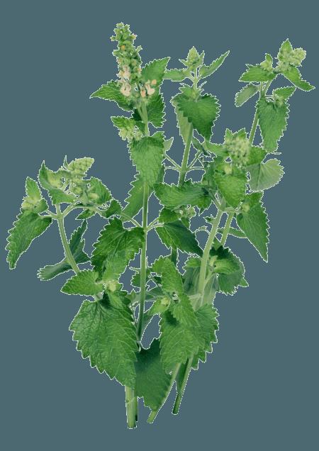 Жгучее растение