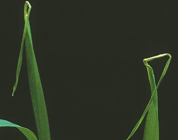 Признаки нехватки меди у растения