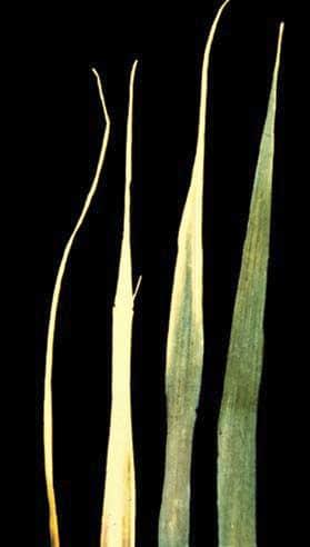 Признаки дефицита серы у растения
