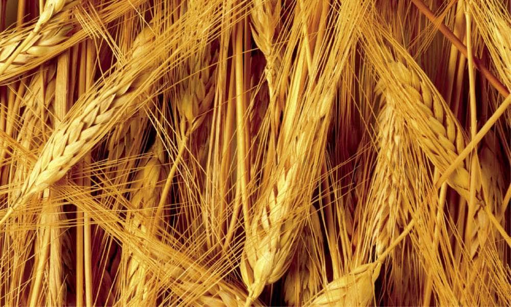 Как удобрять зерновые культуры