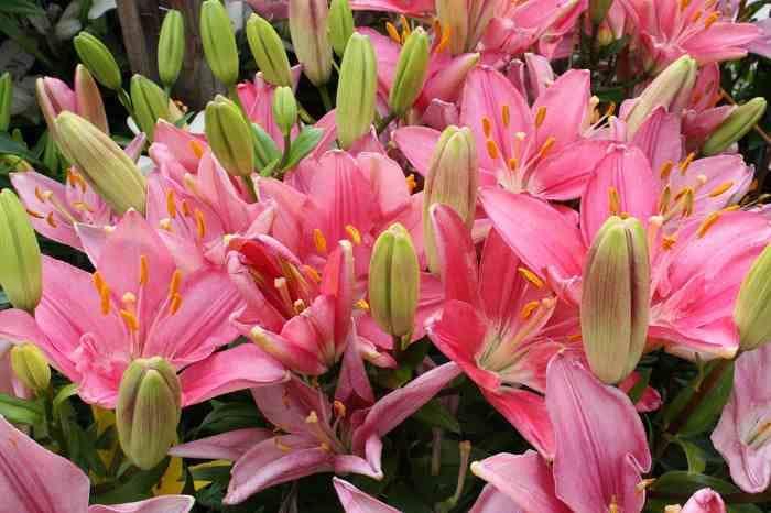 Чем подкормить в августе лилии