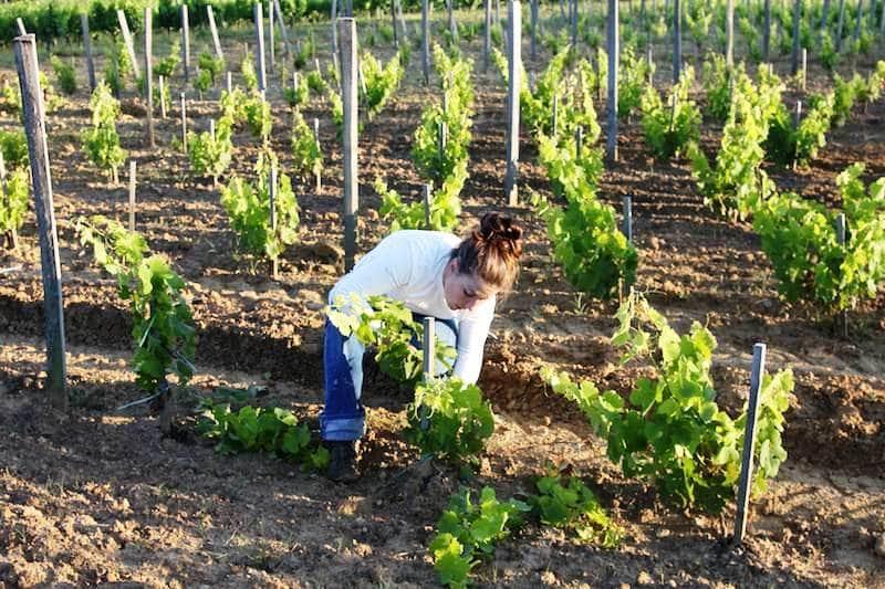 Правильный уход за виноградником