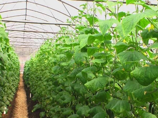 Как вырастить хороший урожай огурцов