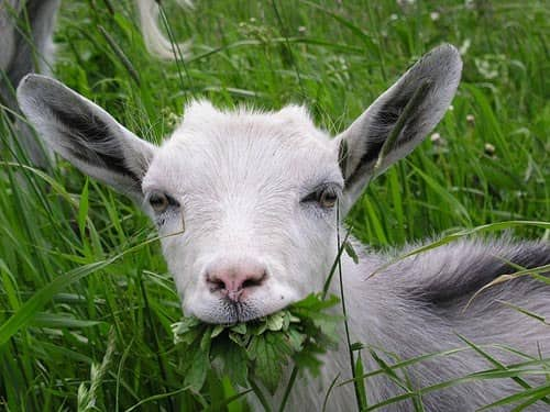 Качество навоза зависит от питания овец