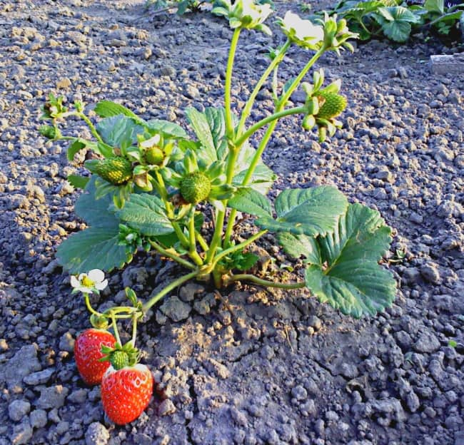Выращивание ягод на дачном участке
