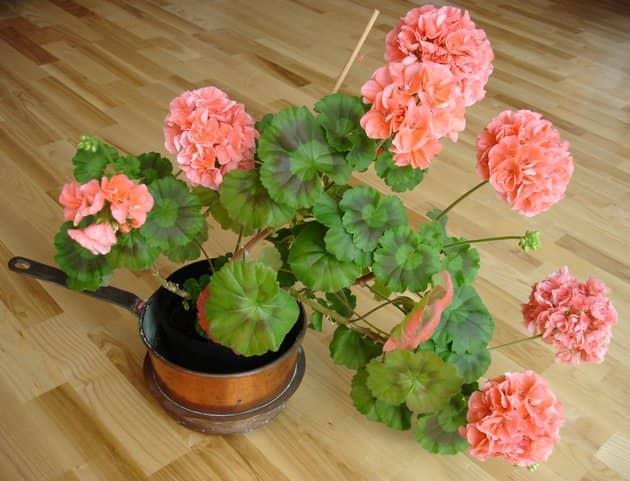 Пеларгонии и их цветение