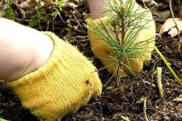 Посадка вечнозеленого дерева