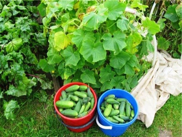 Вырастить хороший урожай без подкормок невозможно