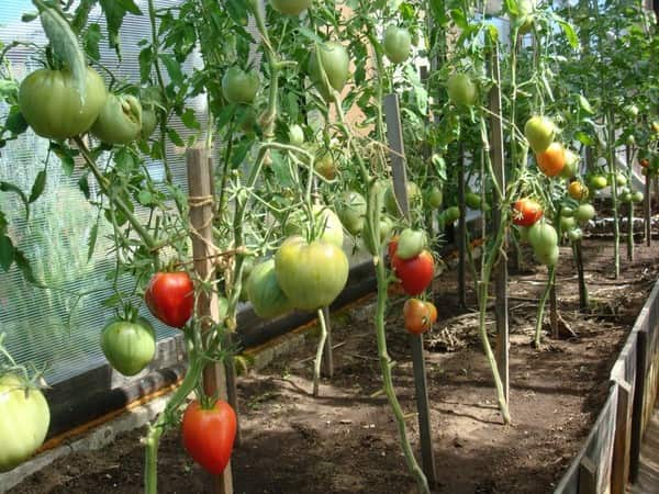 Выращивание урожая томатов