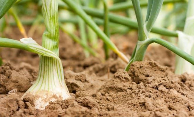 Возможно ли вырастить растения на почве с глиной