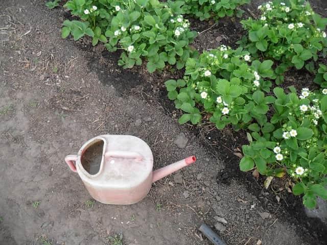 Как подкармливать растение дрожжевым раствором
