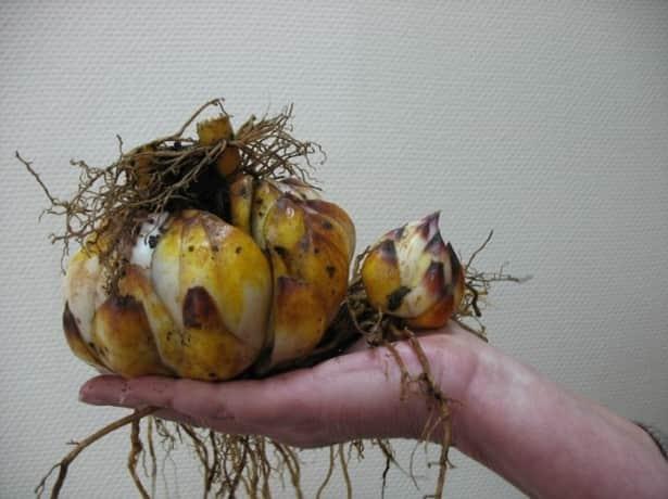 Обработка луковиц перед посадкой
