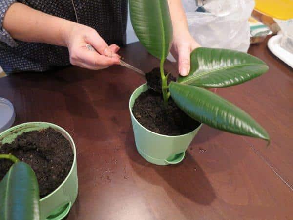 Почва для фикуса в домашних условиях