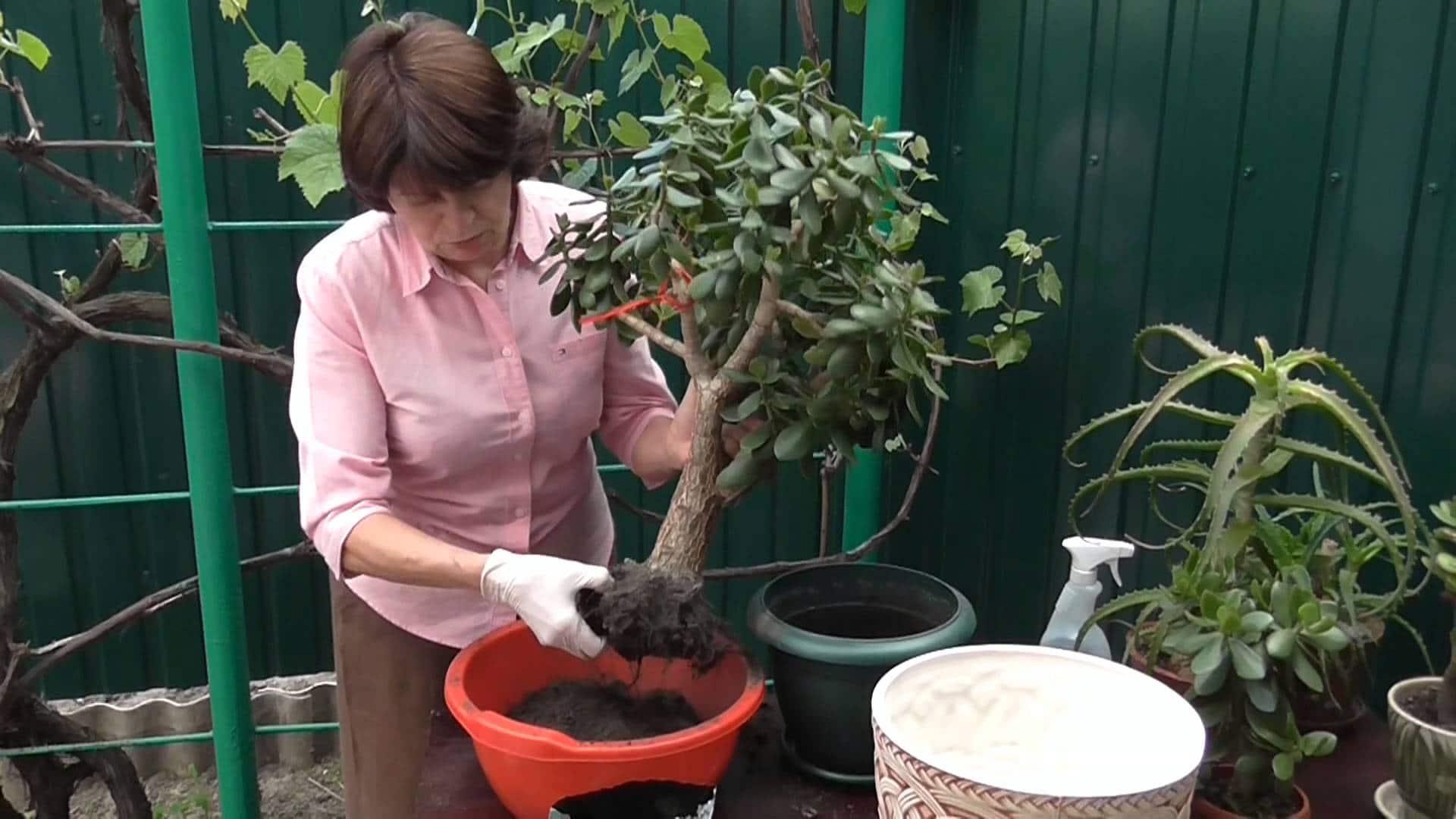 Как посадить Денежное дерево (Толстянку) правильно