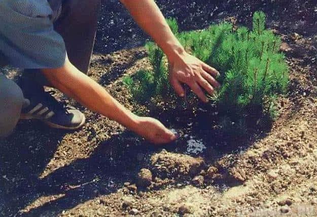 Подкормку для дерева необходимо делать правильно