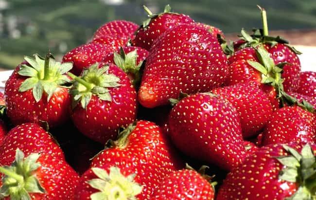 Если правильно подкармливать клубнику, можно собрать большой урожай ягод