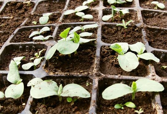 Чем подкормить рассаду огурцов в открытом грунте 4