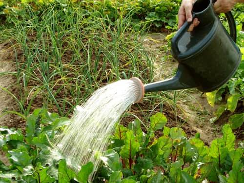 Удобрение мочевиной в виде полива