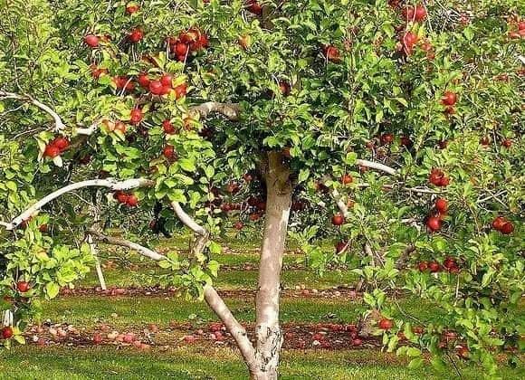 Защитите фруктовый сад с помощью сидератов