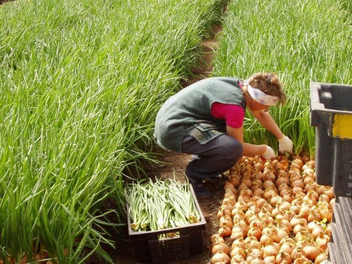 Технология выращивания рассады лука из семян
