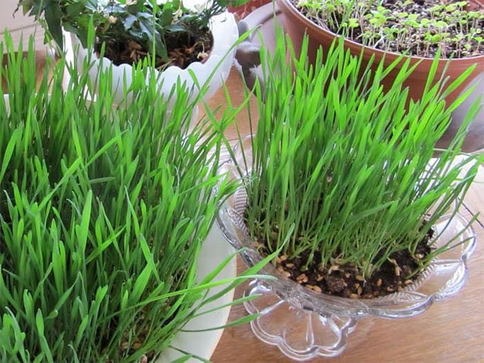 Вырастить газон в домашних условиях