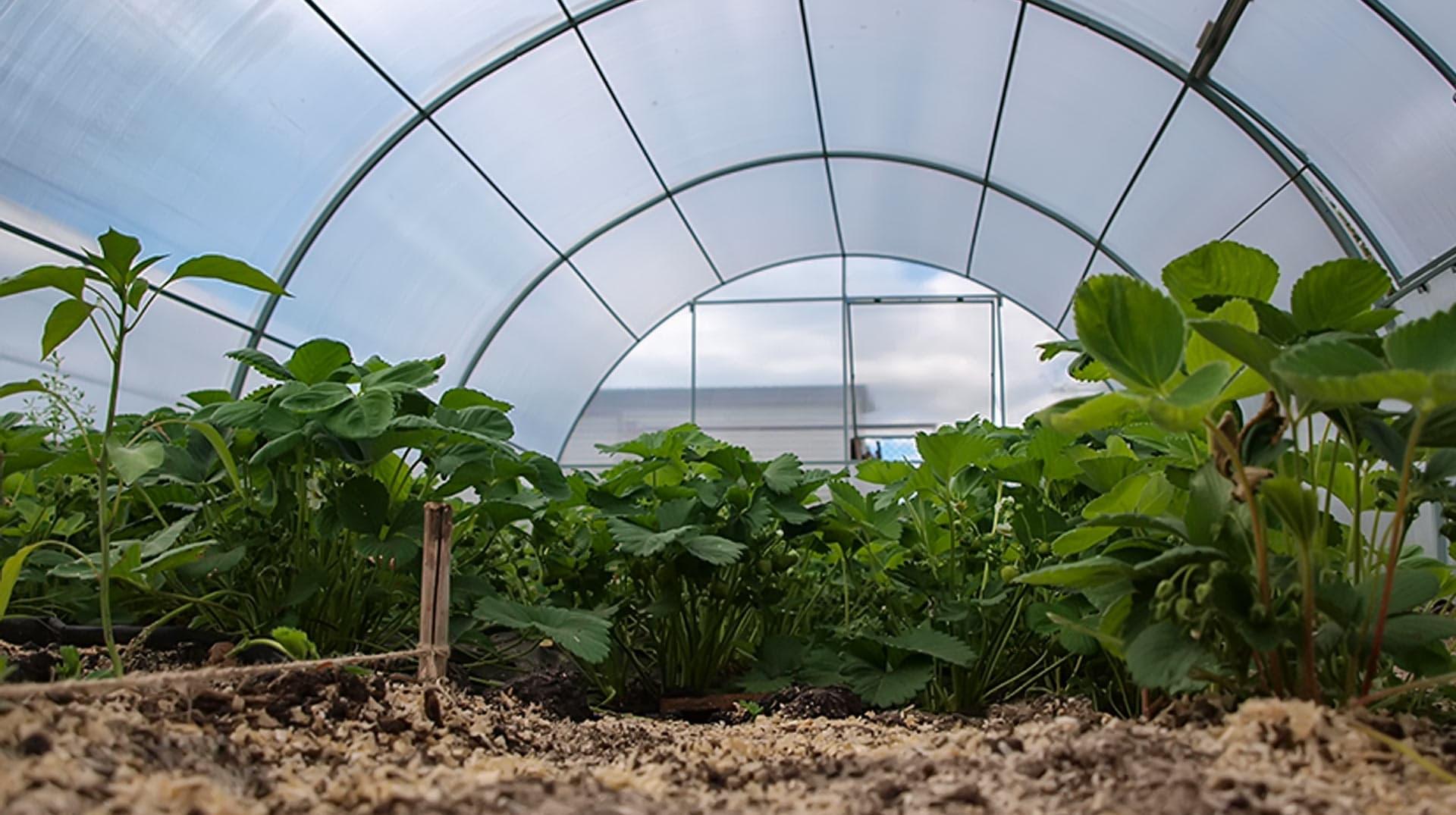Технология выращивания клубники в теплице 97