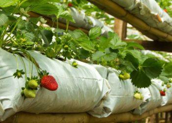 Новый способ выращивания клубники с помощью мешков в теплице