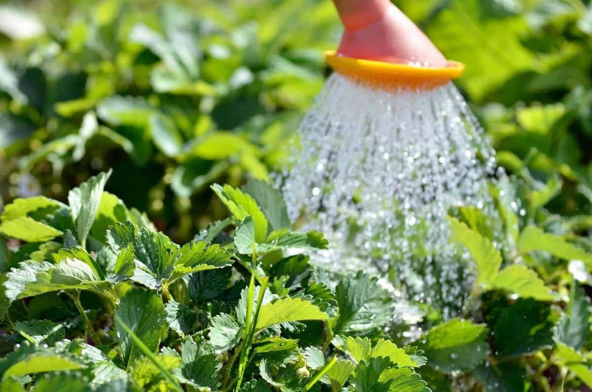 Сколько употребляет воды один куст клубники в сутки