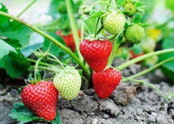 Выращивание клубники в тепличных условиях в зимний период: как это правильно делать, основные способы и рекомендации